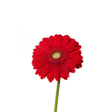 gerbera colors gerberas flower muse
