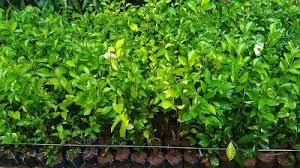 Teh Tehan jual pohon teh tehan murah untuk pagar irzi taman