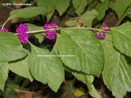 growing native plants from seed texas native plants week my gardener says u2026