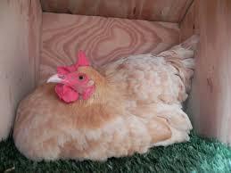 buff orpington gets u201cbroody u201d raising chickens the hen blog