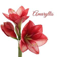 amaryllis flowers 40 most beautiful amaryllis flowers images white amaryllis