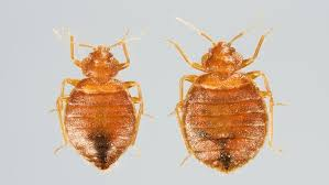How To Identify Bed Bugs How To Get Rid Of Bed Bugs Angie U0027s List