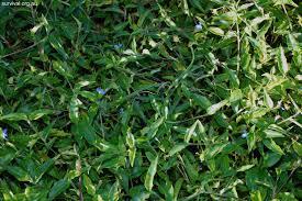 native edible plants australia commelina cyanea scurvy weed edible weeds and bush tucker