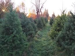 harvey u0027s harvest christmas trees