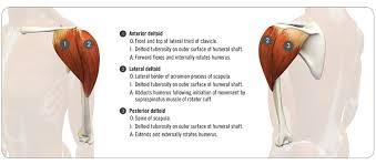 Internal Dog Anatomy Shoulder Kinematics In Yoga