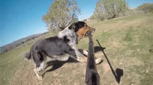 australian shepherd gif post the best animated gif u0027s in this thread page 221