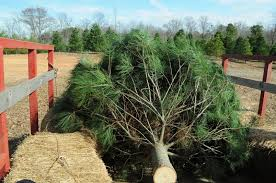 christmas tree farm alabama christmas ideas