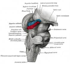 Brain Stem Anatomy Brain Stem Wikidoc