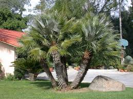 mediterranean fan palm tree cp paurb mediterranean european fan palm tree pictures