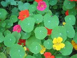 nasturtium flowers nasturtium salad nasturtium flowers