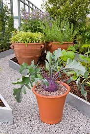 Vegetable Container Garden - kohlrabi in pot with leaves purple vienna variety in vegetable