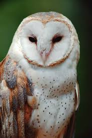spiritual meaning of the magnificent owl jules organic living
