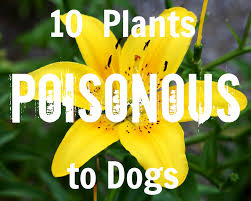 Poisonous Garden Flowers by Pick A Puppy Blog 10 Poisonous Plants To Dogs
