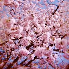 16 best cherry blossom trees images on blossom trees