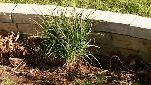 keeping ornamental grasses happy better homes gardens