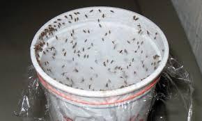 Fruit Flies Kitchen Fruit Flies Kitchen Gnats Fast Page Home - Small flies in kitchen sink