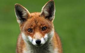 urban fox count the daily telegraph launches study to count urban
