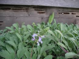 native sage plants spring blooming natives the real dirt blog anr blogs