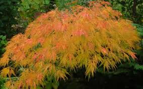 Ornamental Maple Tree Buy Waterfall Japanese Maple 3 Gallon Japanese Maple Weeping