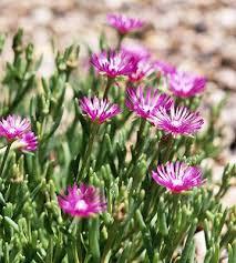 best 25 ice plant ideas on pinterest sedum ground cover