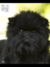 affenpinscher arizona d 953 affenpoo poodle u0026 affenpinscher designer dogs i