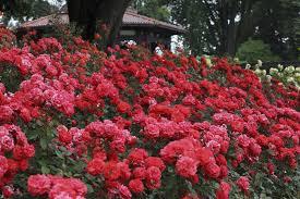 rose gardening preparing roses for winter