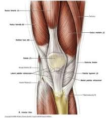 Anatomy And Physiology Exercise 10 Lecture 10 Ant Med Thigh Knee Exercise Physiology 250 With