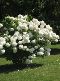 best 20 white flowering trees ideas on pinterest u2014no signup