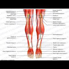 Foot Anatomy Nerves Knee Leg Foot Posterior View Superficial Muscles Blood