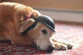 why is there a dog helmet on this pup lessons from a paralyzed dog