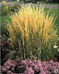 1068 dividing ornamental grasses planttalk coloradoplanttalk
