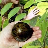 Best Fruit Trees For North Carolina - 112 best nut trees images on pinterest fruit trees palm trees