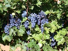 new publication explains u0027grape expectations u0027 for texas vineyard