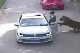 Car Window Flag Mount Woman Pays Ultimate Price After Getting Out Of Car Inside Tiger