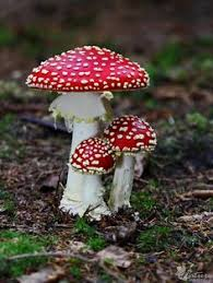 Types Of Garden Mushrooms - amanita muscaria commonly known as the fly agaric or fly amanita