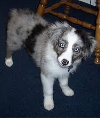 australian shepherd grey miniature australian shepherd dog breed pictures 1
