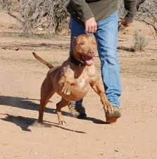 american pit bull terrier life expectancy pit bull u2013 adventures at run a muck ranch