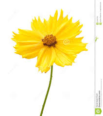 Yellow Flower - yellow flower of garden coreopsis royalty free stock image image