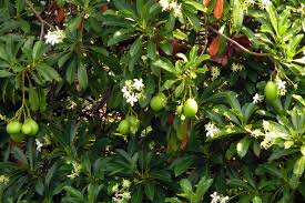 native plants of india planet warrior 8 poisonous plants in india that can kill
