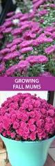 mums flower mum u0027s the word fall flowers