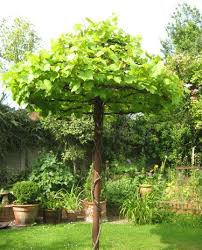 Trellis With Vines 80 Best Grape Vines Images On Pinterest Grape Vines Garden