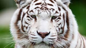 cats cat predator wild white muzzle tiger image funny for hd 16 9