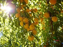 quick peach facts california cling peaches