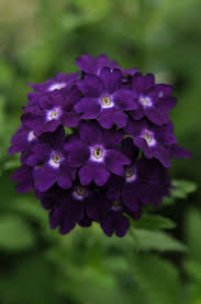 Verbena Flower 10 Best Purple Flowers For Your Garden Home And Gardens