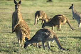 pics photos kangaroo
