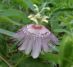 native mexican plants native plants passionflower vine grows and flowers rampantly all