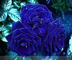 blue roses for sale cheap blue bush sale find blue bush sale deals on line