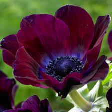 zyverden wind flowers anemones meron bordeaux bulbs set of 25