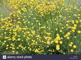 Plants Blooming Botany Gray Santolina Santolina Chamaecyparissus Yellow