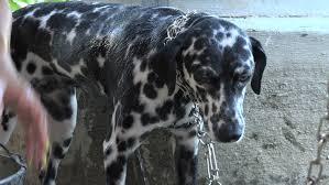 cuban teenager bathing dalmatian dog house porch